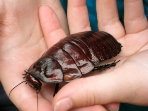 It appears to take TWO HANDS to carry a giant burrowing cockroach.  EW.
