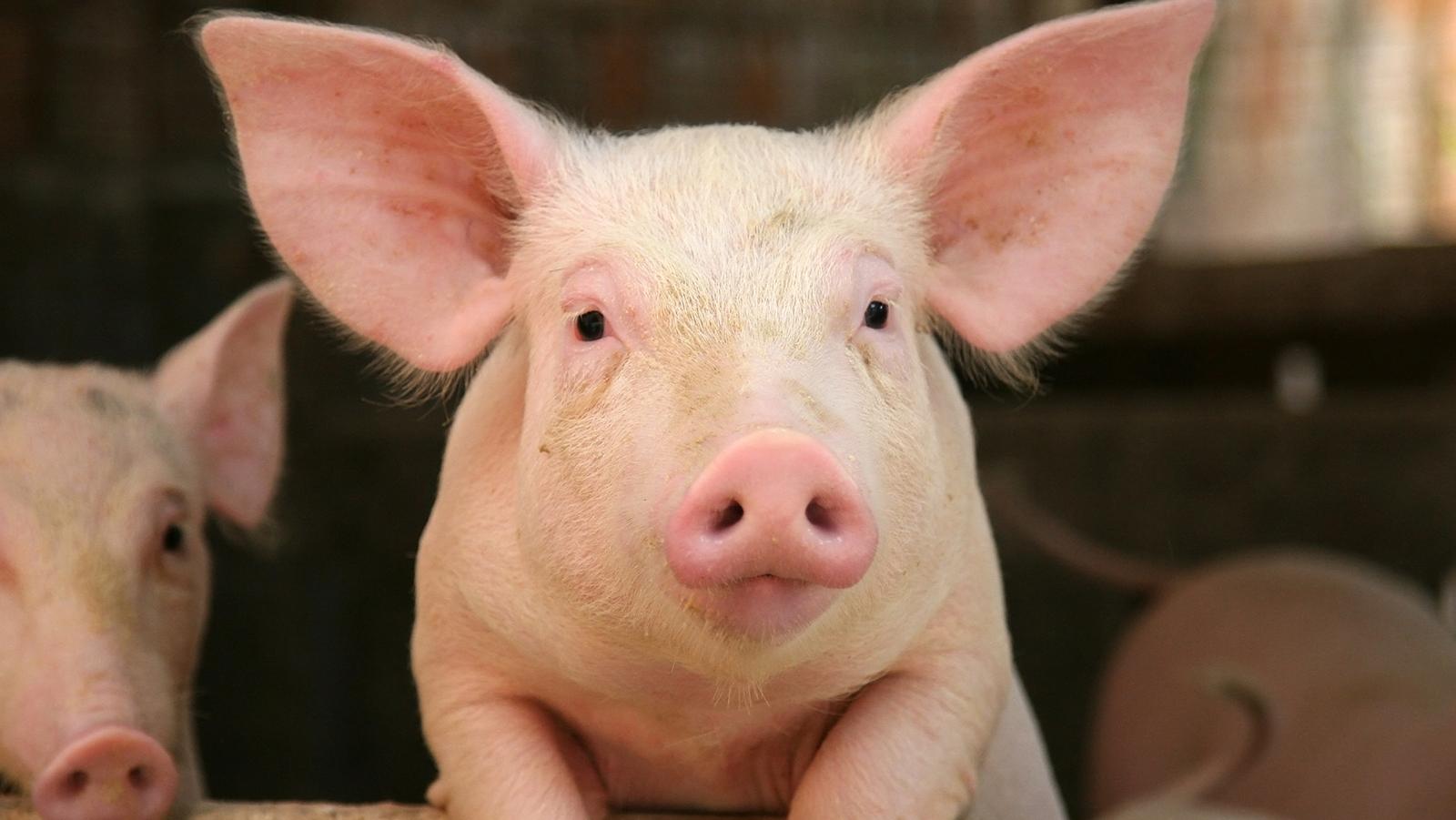 pig eyes